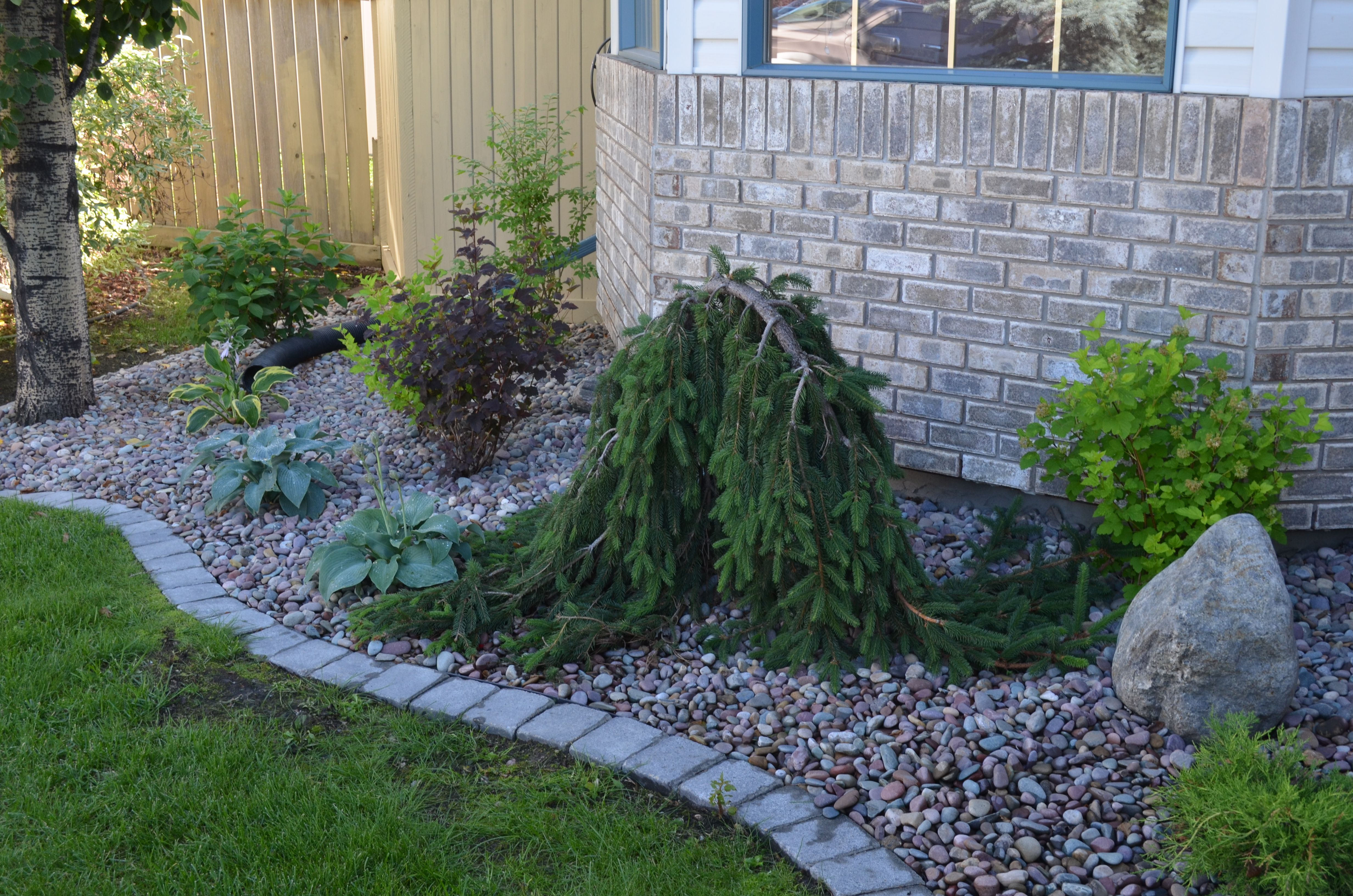 Wonderful dwarf weeping norway spruce with stone edging for Weeping garden trees