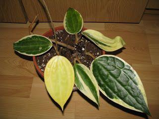 hoya variegata - Google otsing