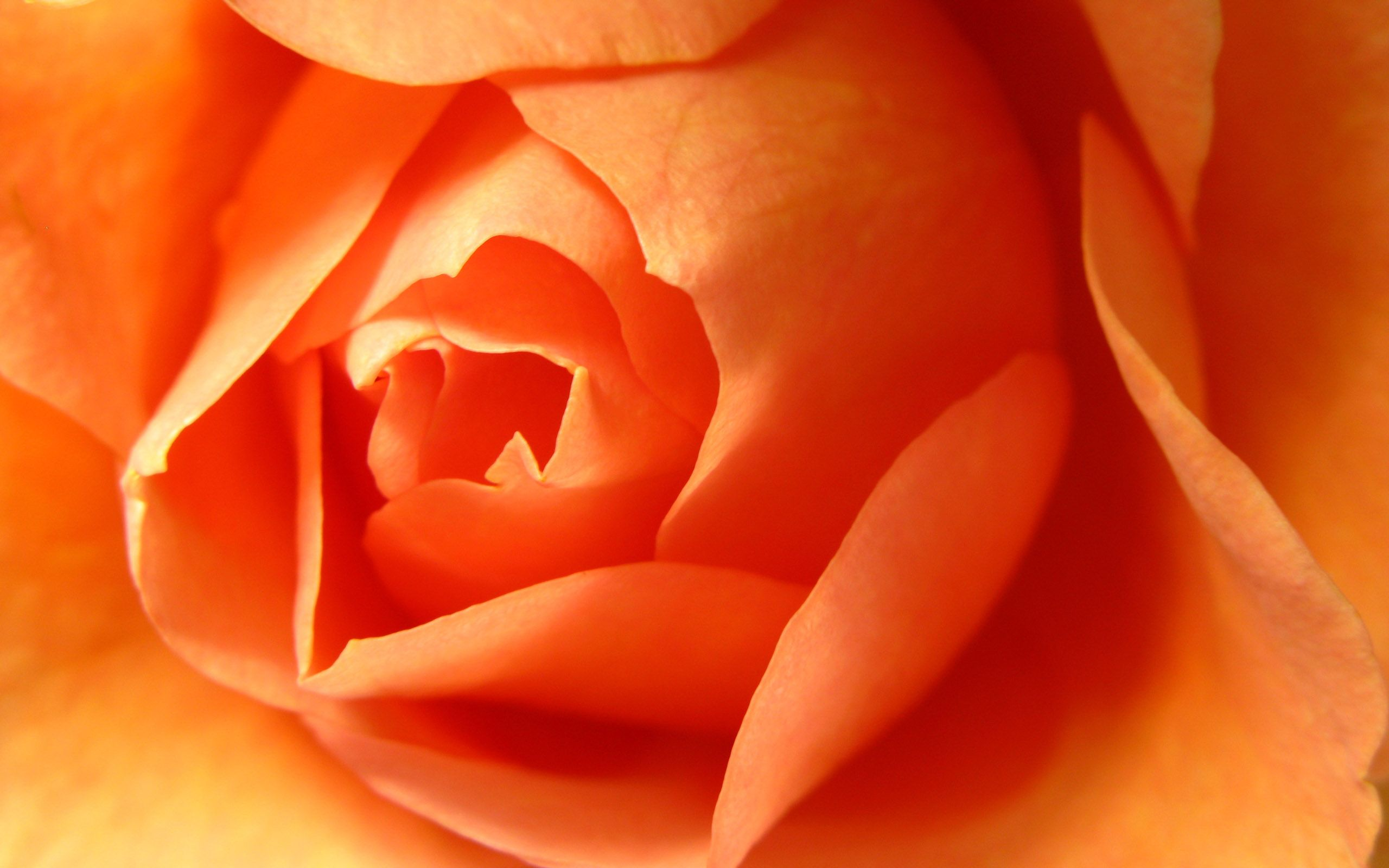 Beautiful Orange Rose Wallpaper Flowers Roses