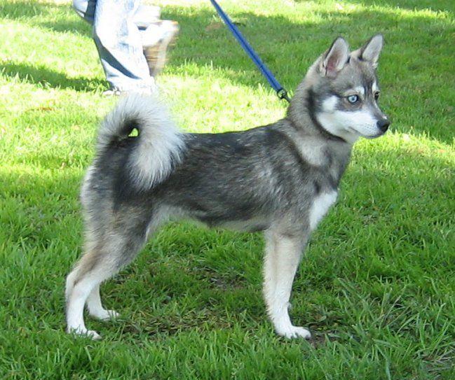 7 Razas De Perros Que Existen Y Quizas No Sabes Alaskan Klee Kai