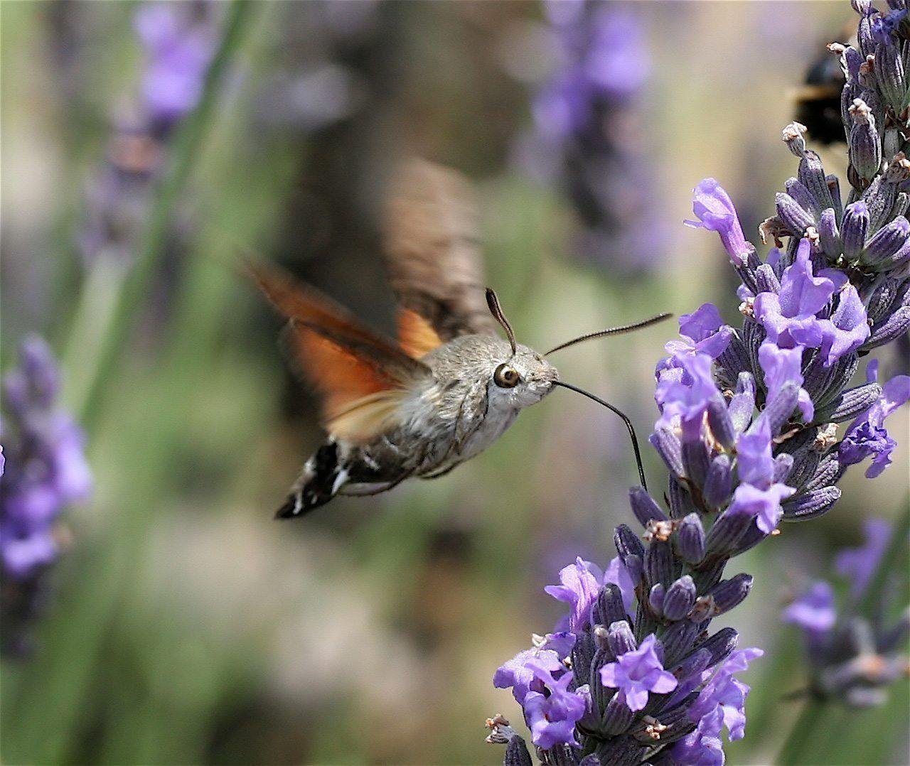 Pollen as a MicroWonder of the World! Hummingbird moth