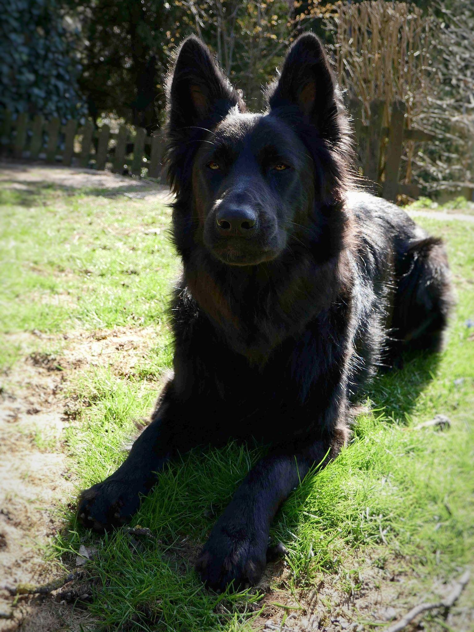 Gsd ylvie black german shepherd black german shepherd
