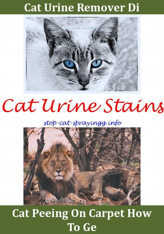 Best 12 Can Neutered Male Cats Spray My Cat Keeps Peeing On