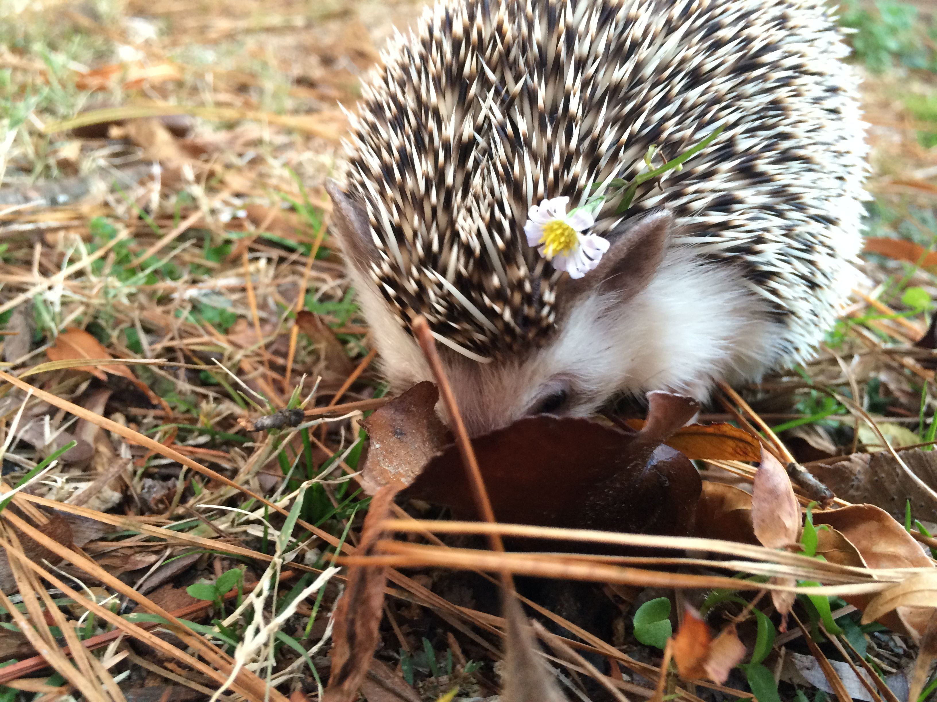 Shy hedgehog, hippie hedgehog named pumpkin