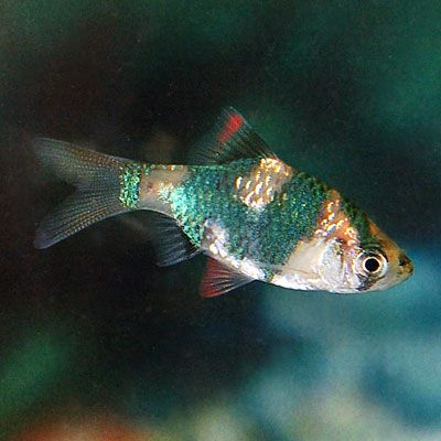 Green Tiger Barb With Images Saltwater Aquarium Fish Fish Fresh Water Fish Tank