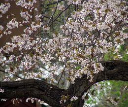 Fruit Trees That Grow Well In Iowa Ehow Com Growing Cherry Trees Flowering Cherry Tree Yoshino Cherry Tree