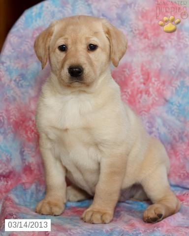 Labrador Retriever opawz com supply pet hair dye,pet hair