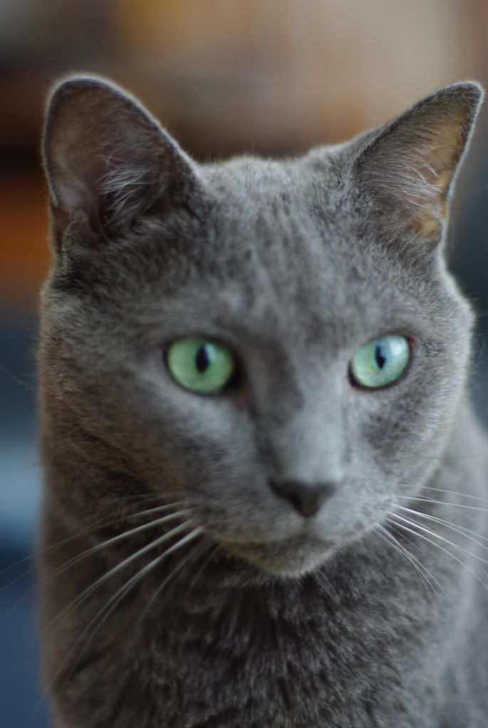 russian blue cat with green eyes 4 Funny Cat Wallpapers