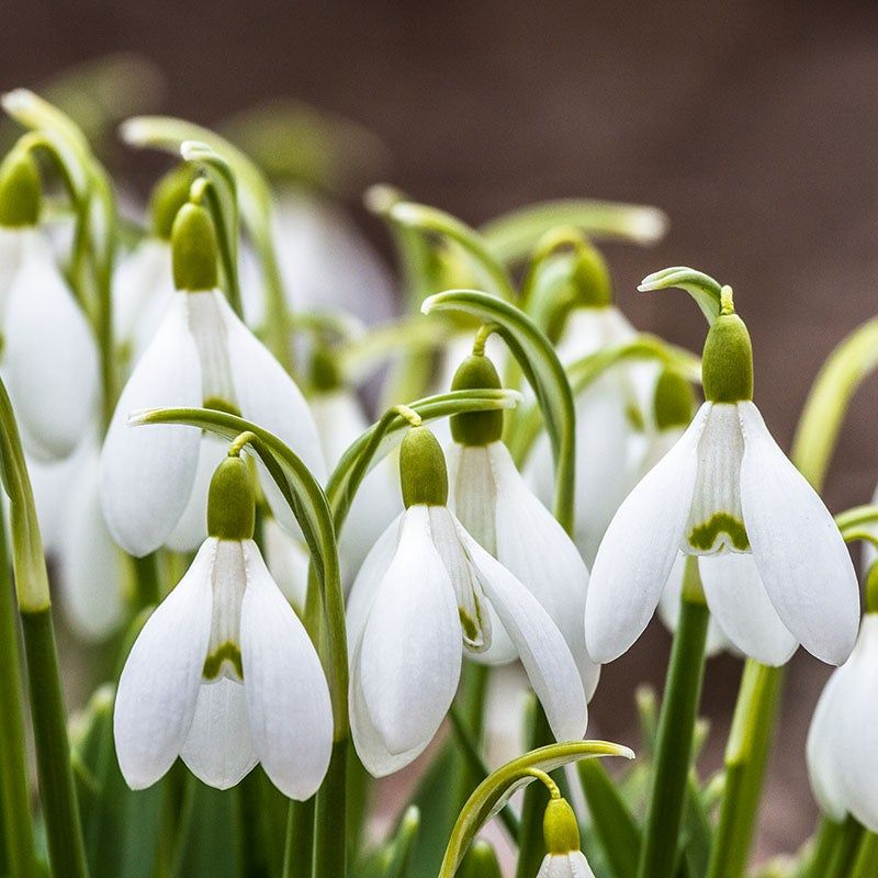 Snowdrops Plant Flower Bulbs Bulb Flowers Planting Flowers