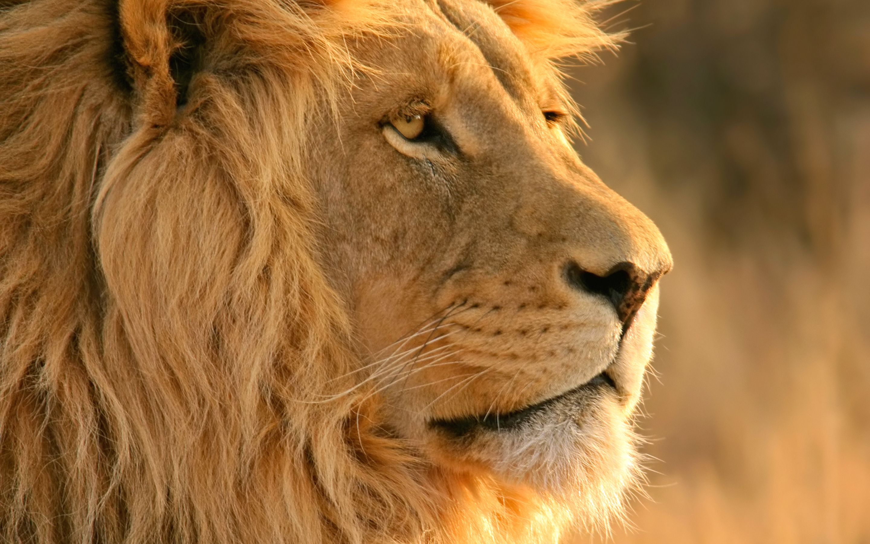 Best 25 Lion Hd Wallpaper Ideas On Pinterest: Best Side Photo Of Handsome Lion King