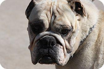 Springfield Mo English Bulldog Mix Meet Lola A Dog For