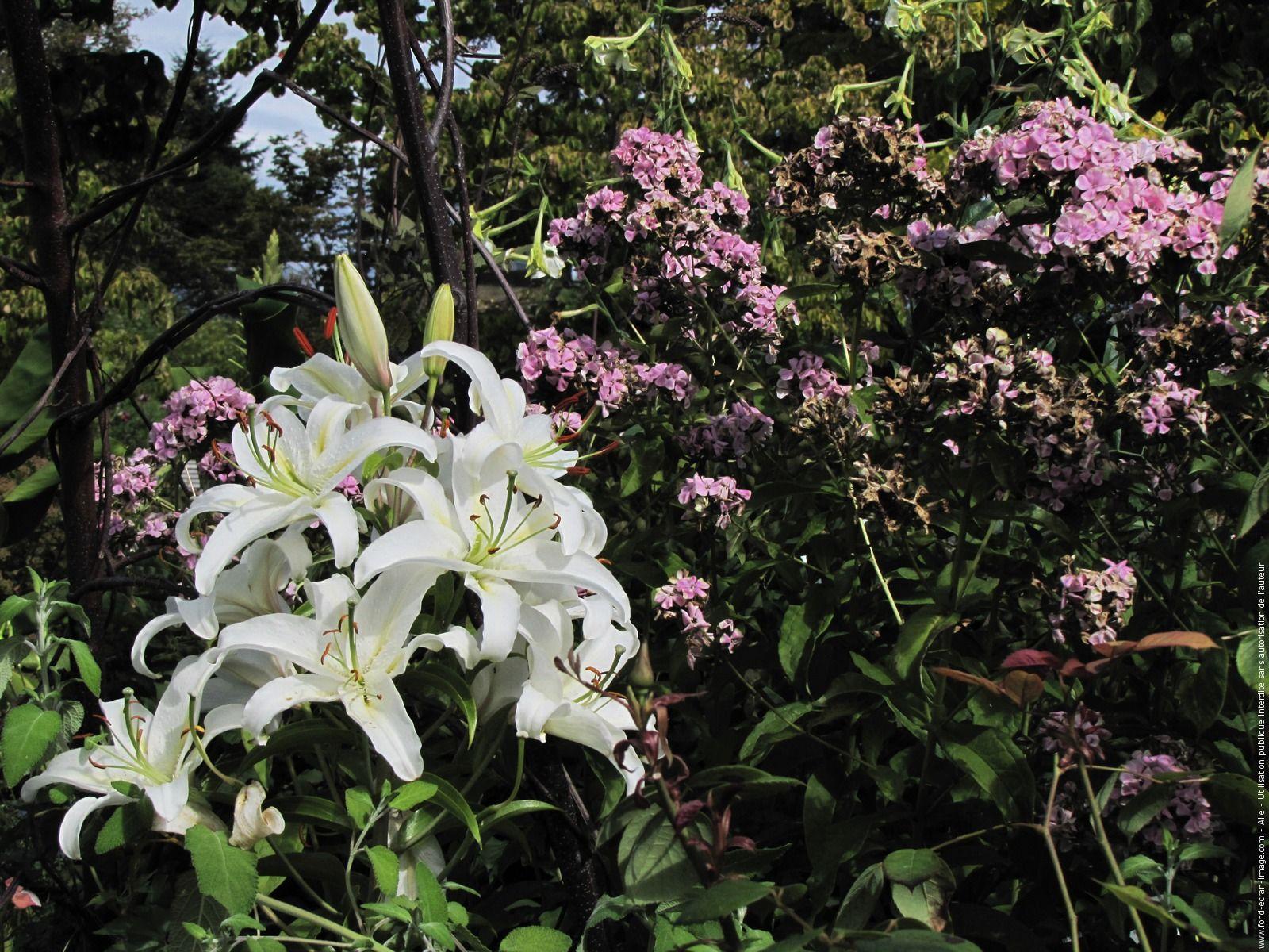 Lys Blanc 20150914 Sur Fei Photo Fleurs Jardins Lys Blancs