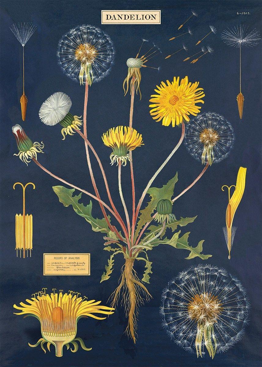Cavallini Dandelion Botanical Vintage Chart Poster Botanical Art Botanical Prints Vintage Botanical Prints