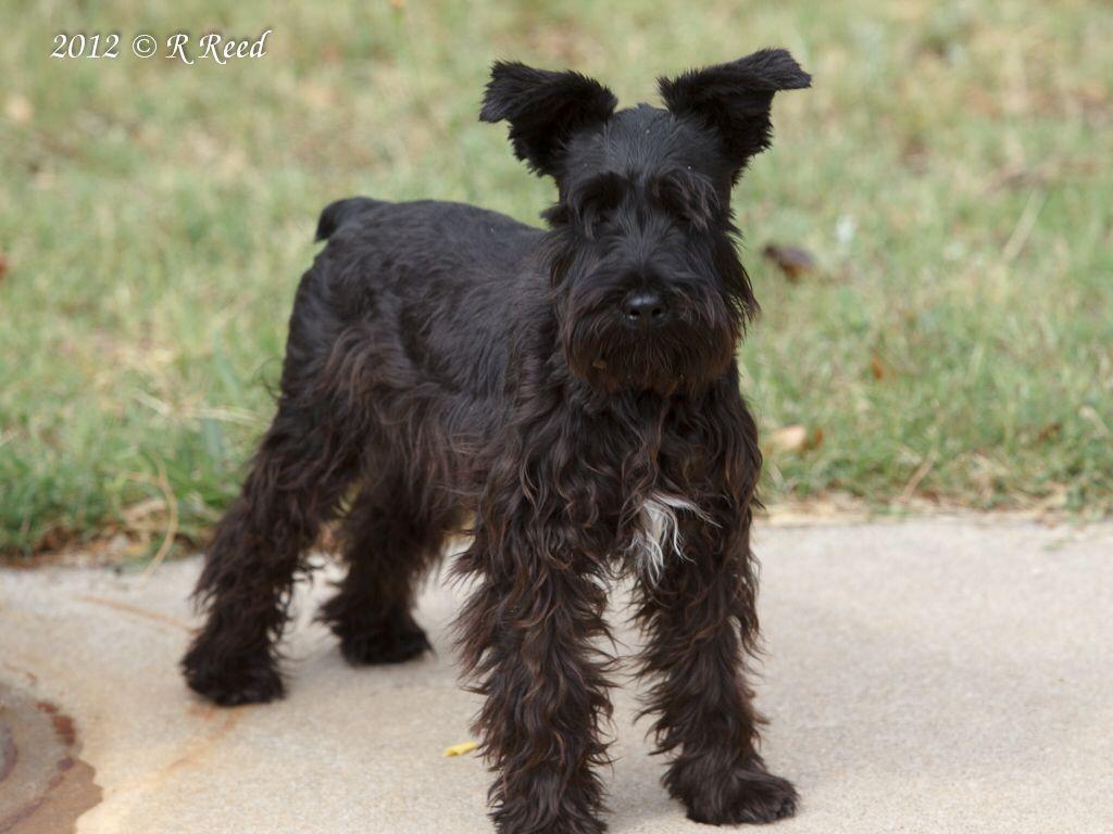 Perfect All Black Schnauzer Mini Schnauzer Puppies Schnauzer Puppy Beautiful Dogs
