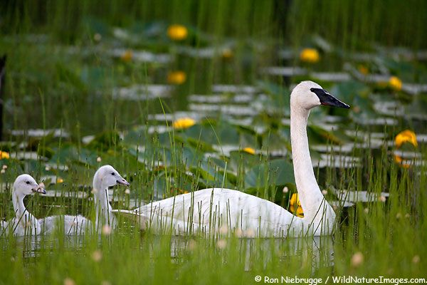 Trumpeter Swan and young, Chugach National Forest