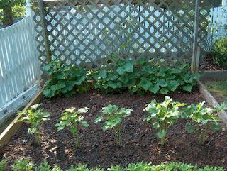 Using Lattice For Cucumber Vines To Grow Up Making Easier Picking Cucumber Trellis Bean Trellis Cucumber Trellis Diy