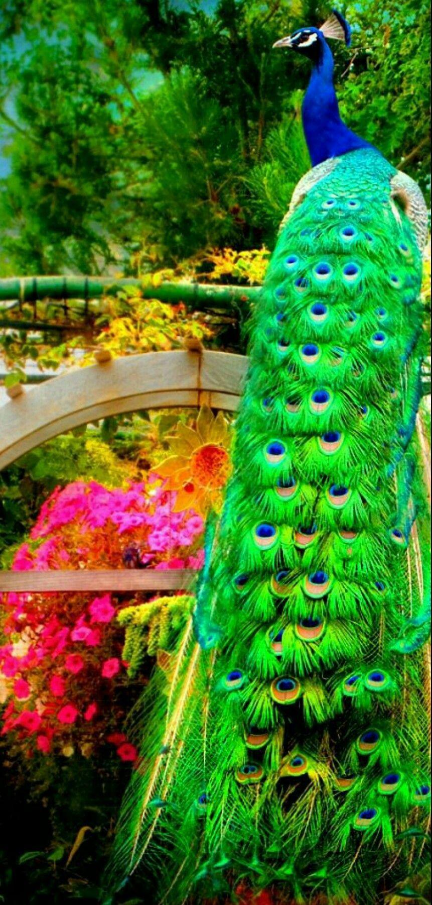 Beautiful bird and amazing colors birdhouses birds butterflies peacock animals beautiful - Beautiful peacock feather ...