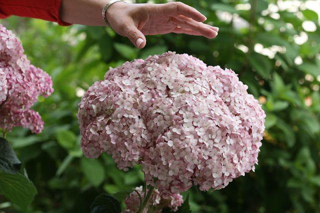 Incrediball Blush    hydrangea, 4-5' tall, hardy to zone 3  | Garden