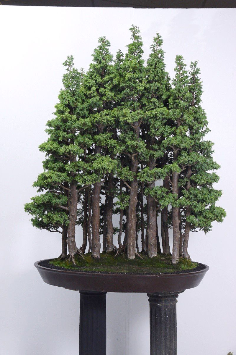 Ficus bonsai bonsai trees pinterest bonsai bonsai forest and people for A gardener is planting two types of trees