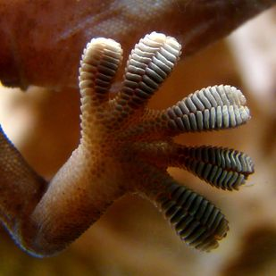 Geckos can walk up windows thanks to electrostatic forces between thousands of tiny hairs on their feet and the surface. | 27 Incredible Animals With Real Superpowers