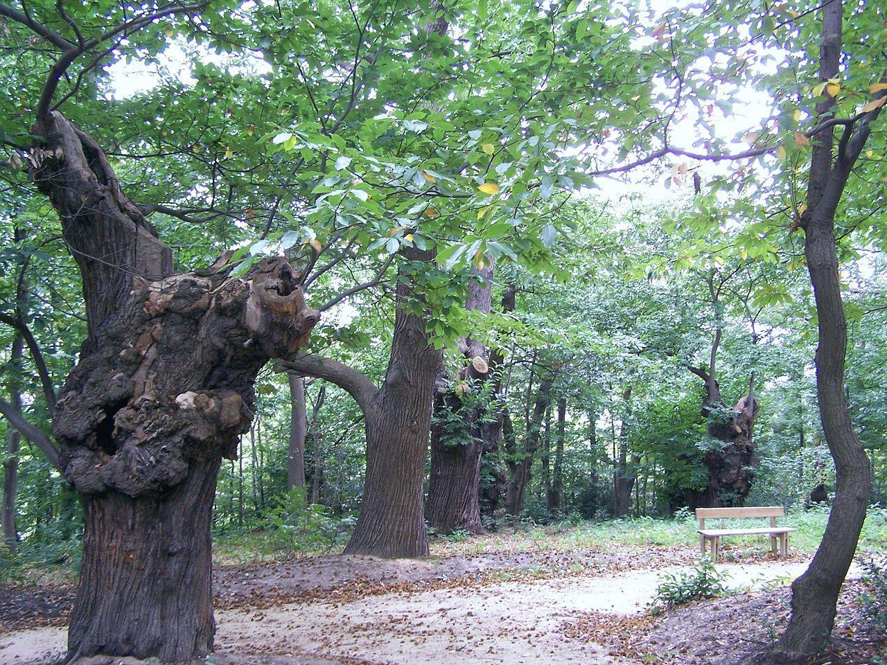 Groupe de chataigniers du site de Tournebride à la Celle-St-Cloud - région Ile de France - classés arbres remarquables de France