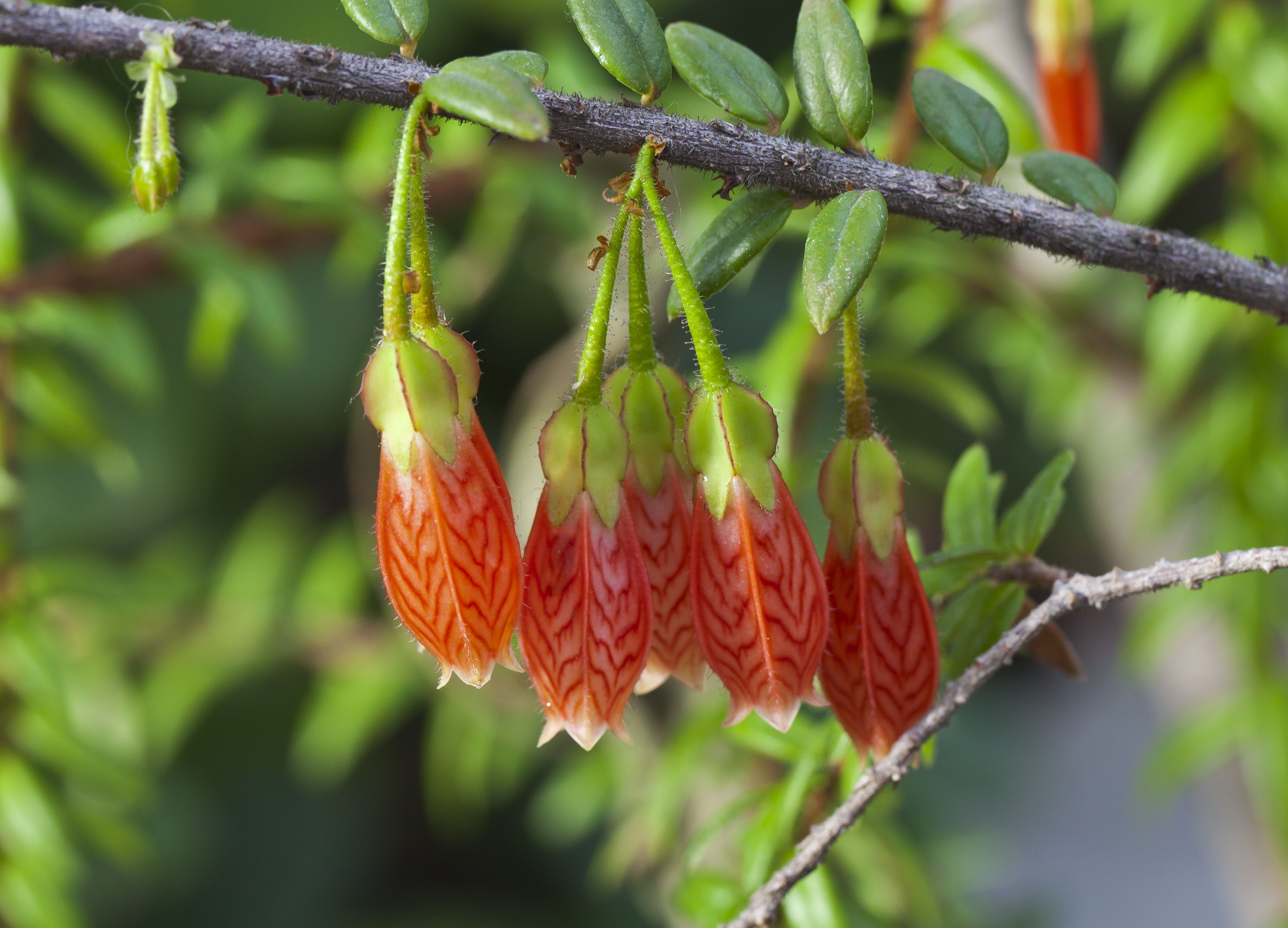 Agapetes serpens, Botanic Garden, Munich, Germany. Click on this ...