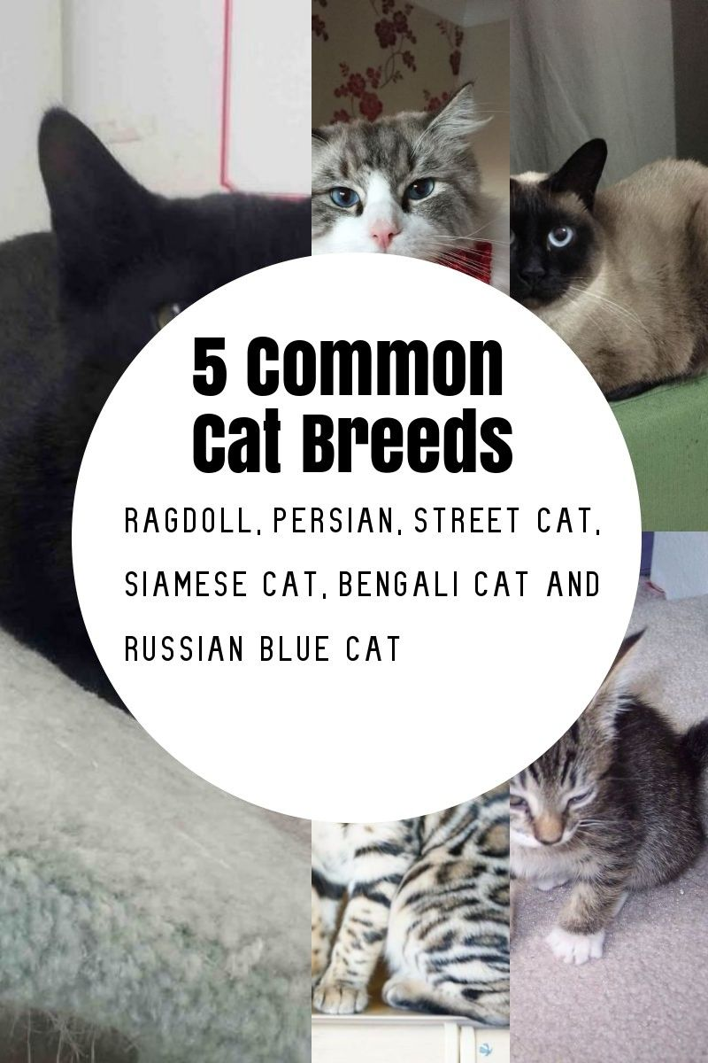 The Most Common Cat Breeds Cat breeds, Russian blue