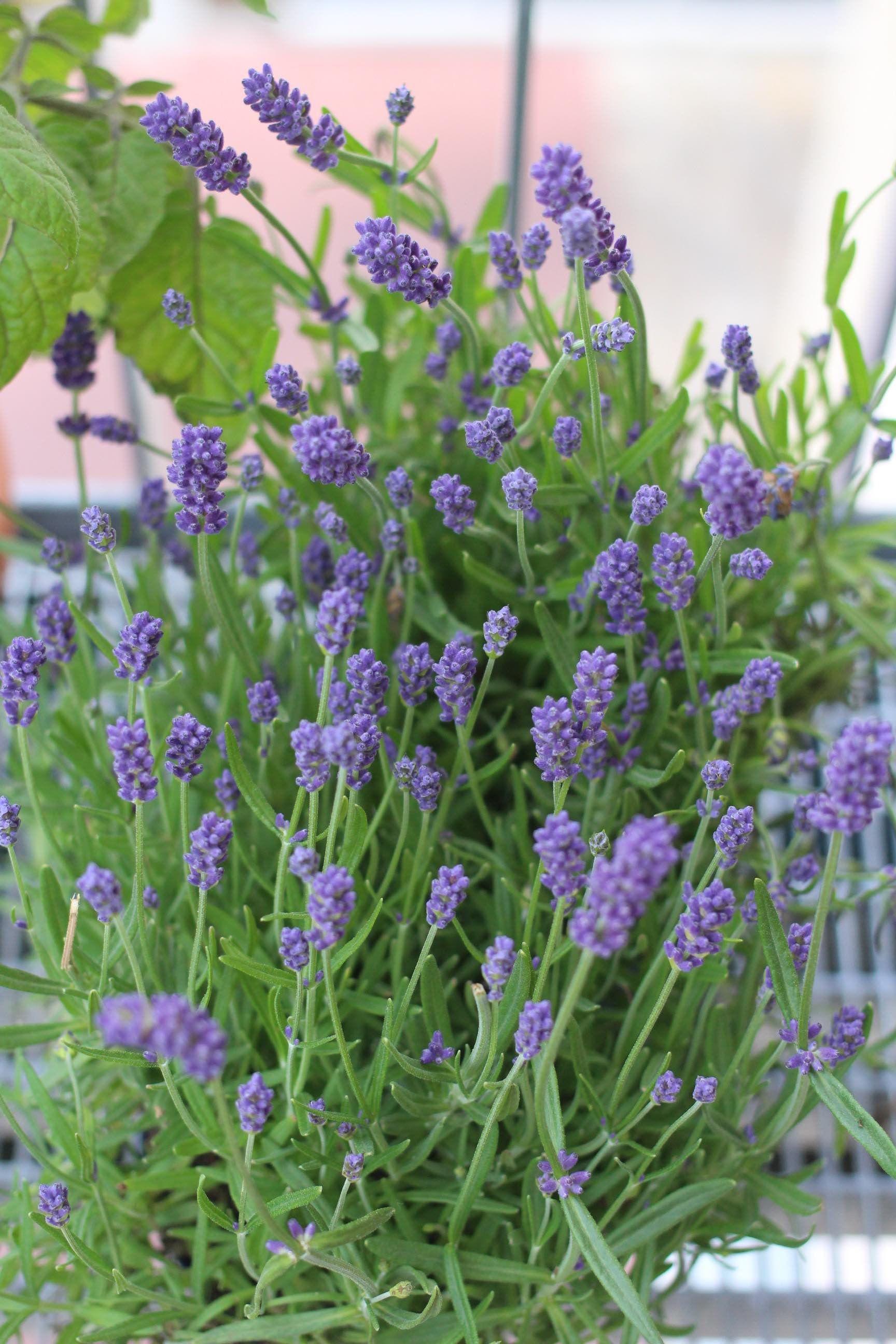 Bienenweide Auf Dem Balkon Anlegen Garten Fraulein Pflanzen Lavendel Balkon Bienenfreundliche Pflanzen