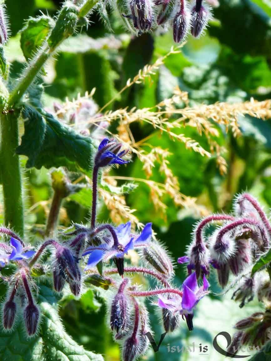 Ein Bluhendes Und Gesundes Unkraut Heilpflanzen Unkraut Gartenpflanzen