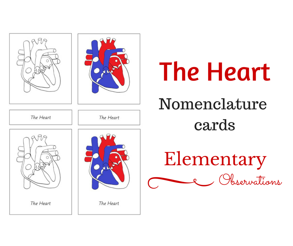 The Heart   Human body activities, Heart lesson ...