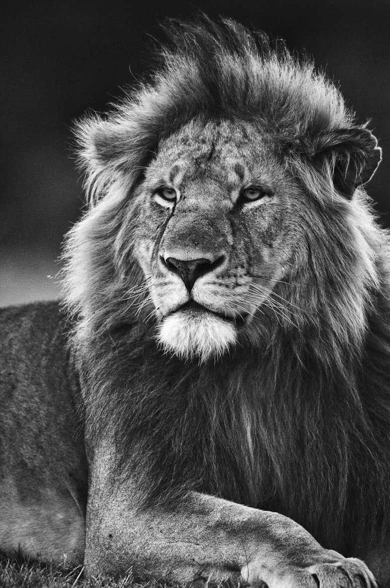 Black and White Lion Portrait of adult male Lion in
