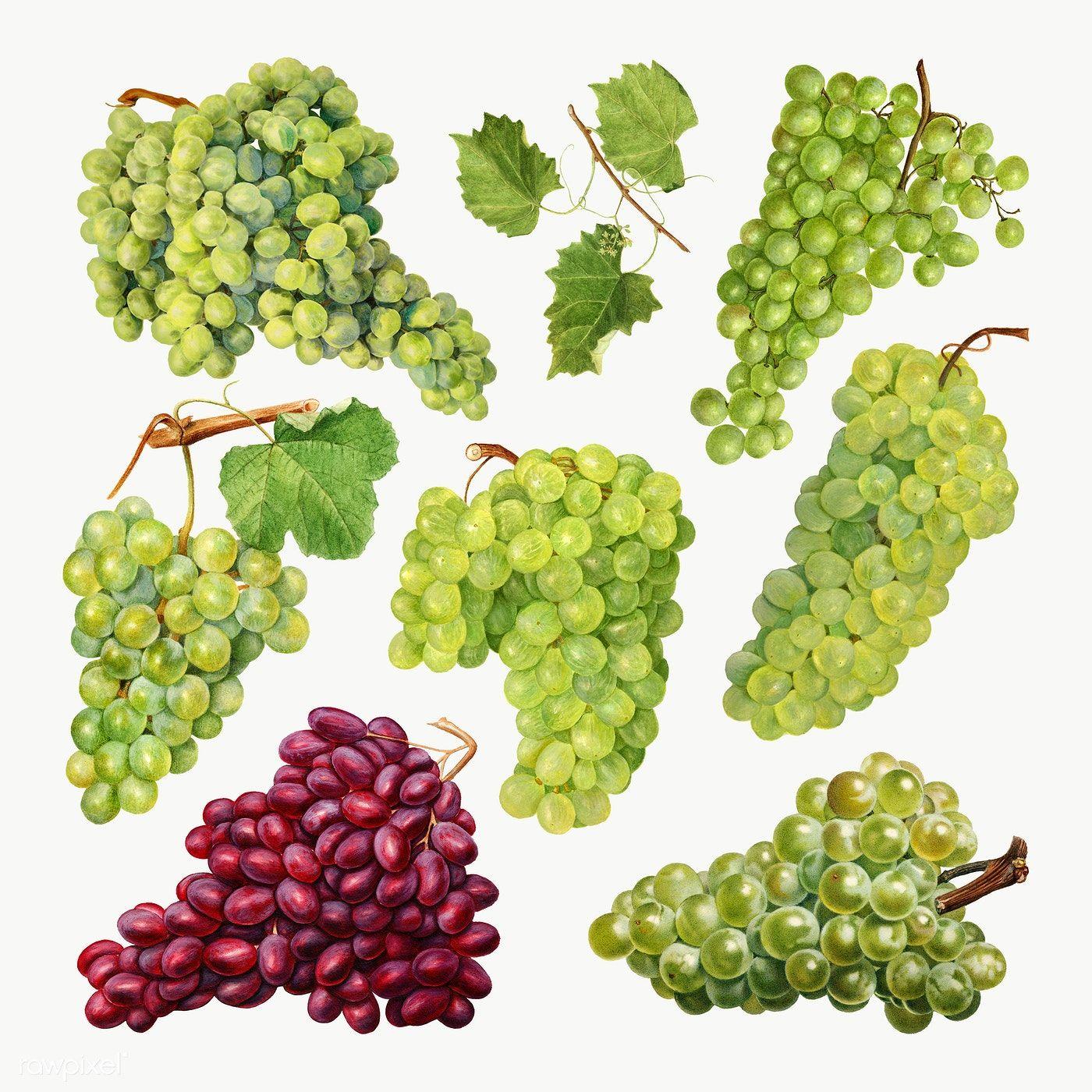 Download Premium Png Of Hand Drawn Natural Fresh Grape Set 2328471