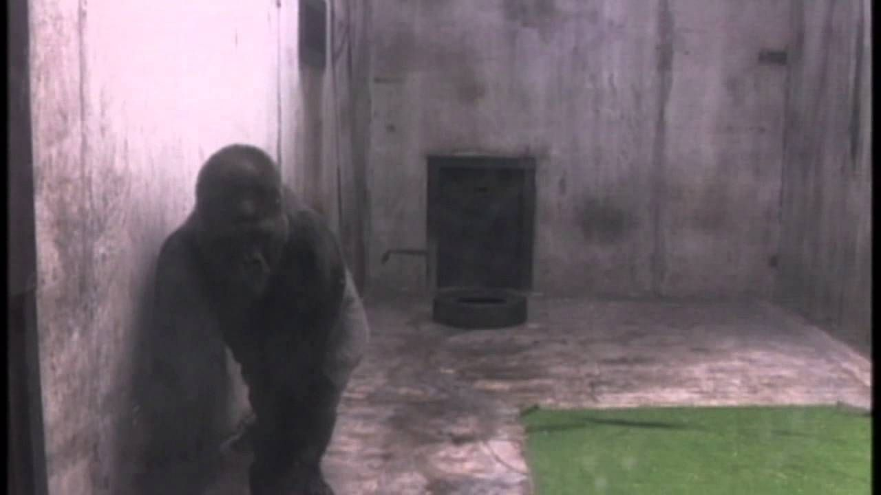 Ivan the gorilla lived alone in a shopping mall for over