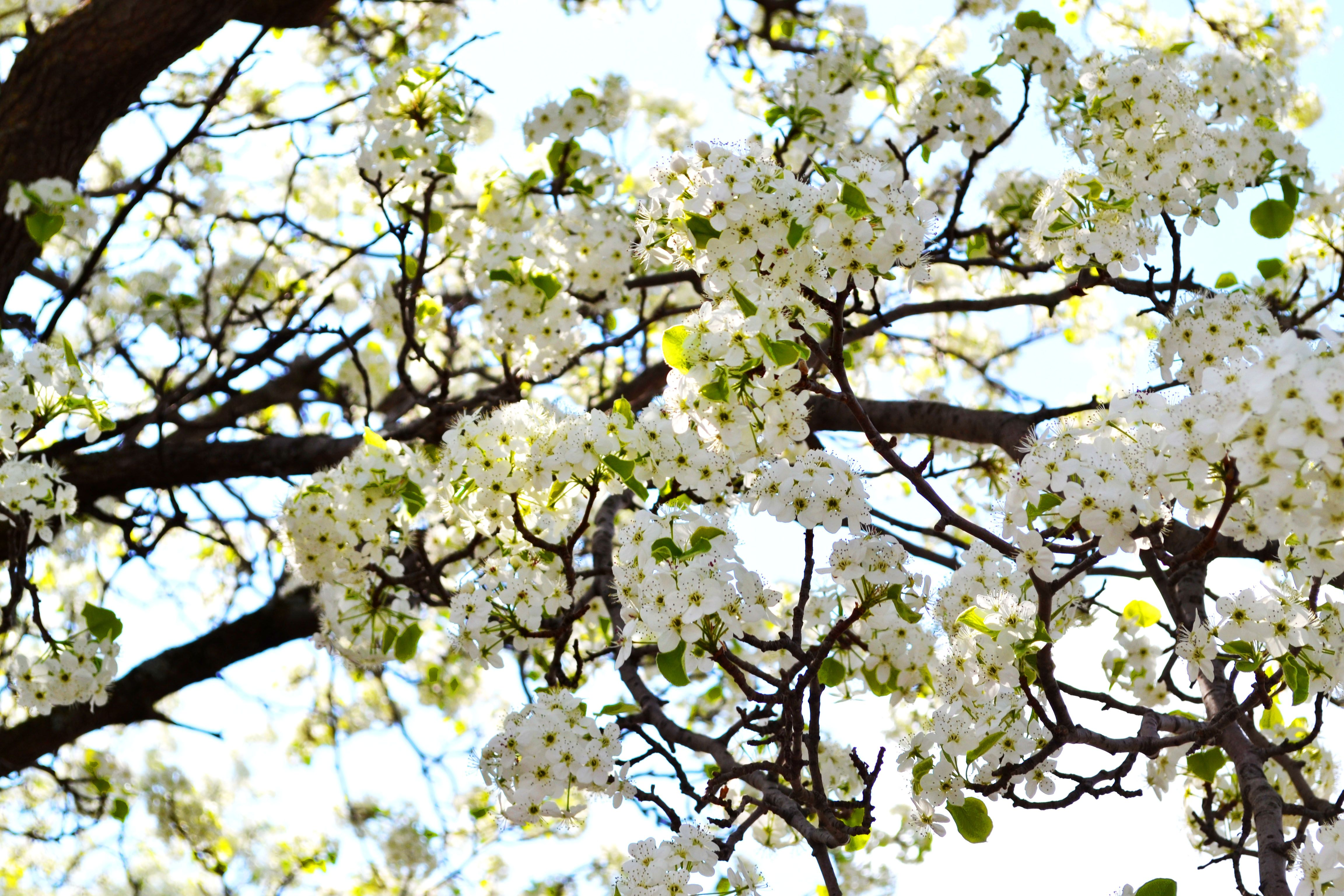 Charming Spring Flowering Tree Preparing Outdoor Area For Summer