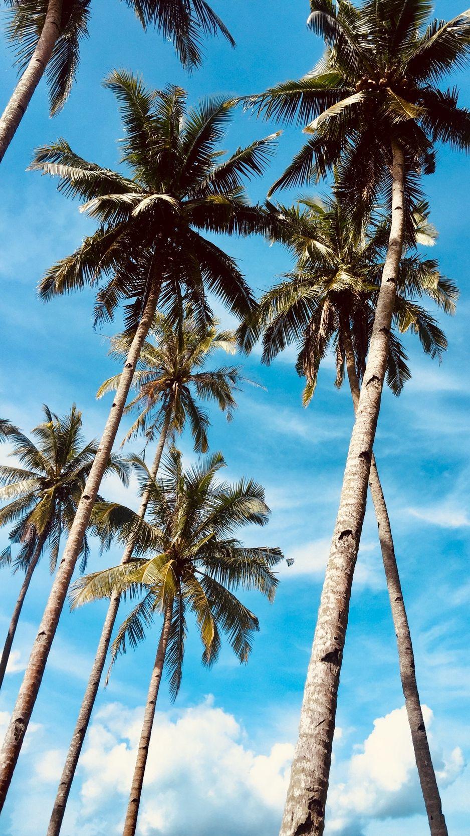 Palm Trees Sky Tropics Trees Wallpaper Palm Tree Background Palm Trees Wallpaper Tree Wallpaper Iphone