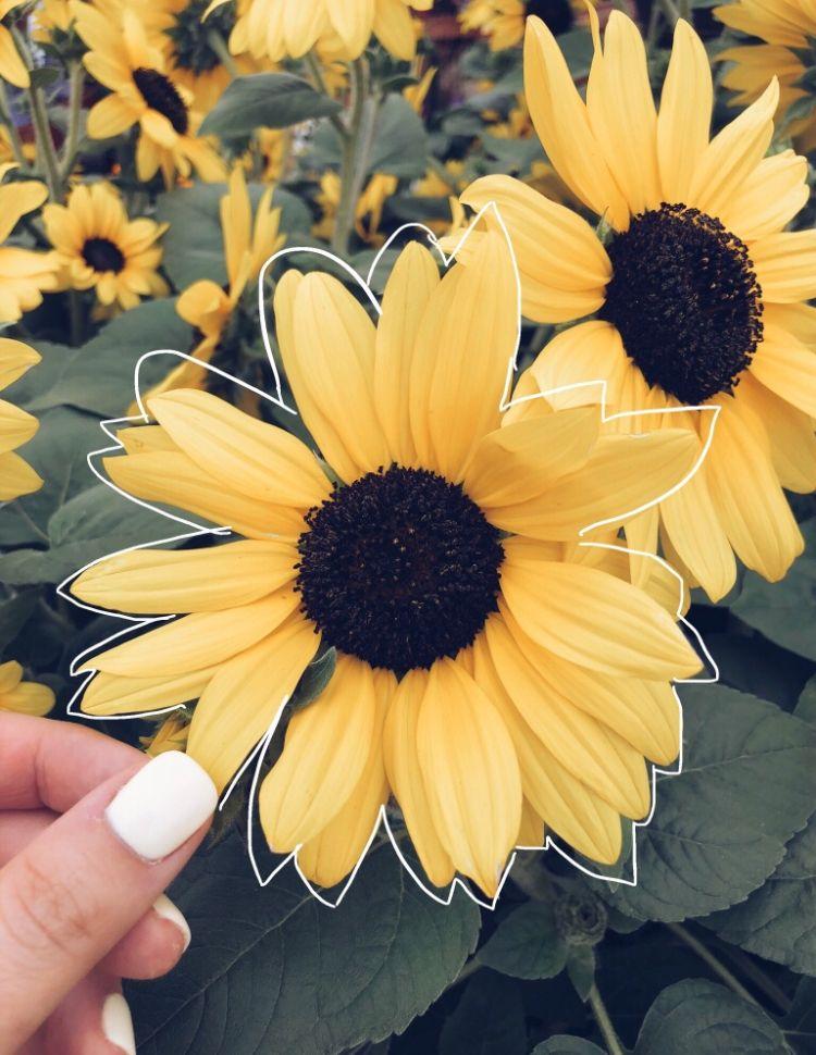 sunflower♡ Yellow aesthetic, Flower aesthetic, Spring