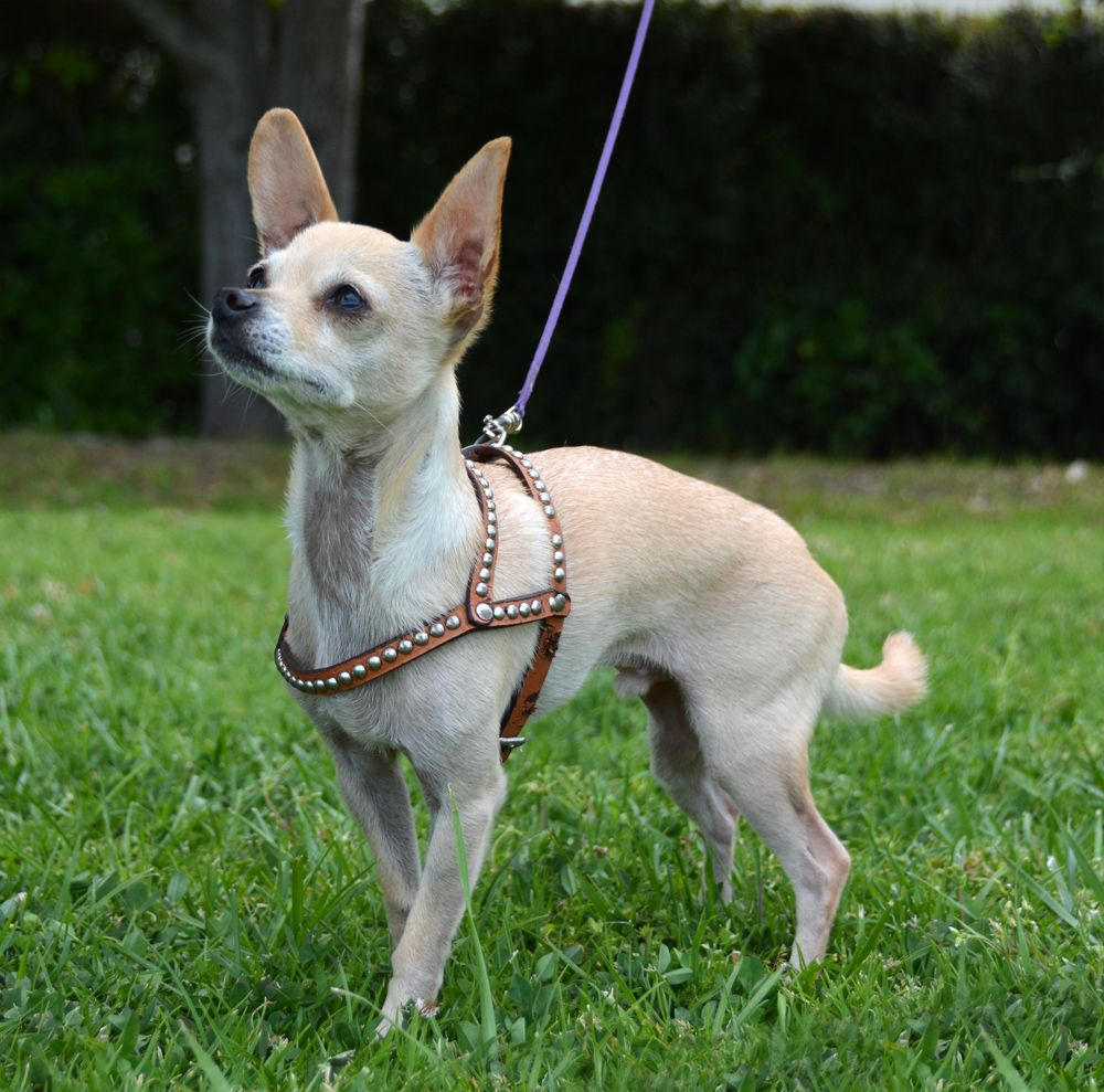 Chihuahua Fashion Moment Vintage Studded Harness Vintage Studs
