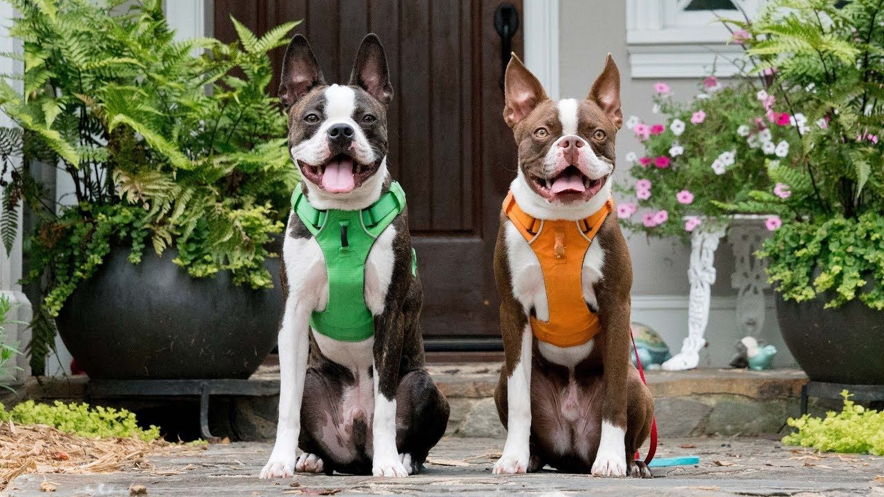 First Year With Boston Terrier Puppy Brothers Boston Terrier Funny Boston Terrier Illustration Boston Terrier