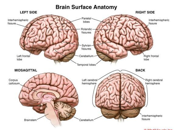 Brain surface anatomy left side misagittal side right side and back brain surface anatomy left side misagittal side right side and back side anatomynote ccuart Gallery
