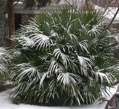 Tropical Beauty In An Easy To Grow Palm Needle Palm Is A Lively Slow Growing Shrubby Palm That Is Known F Needle Palm Palm Trees For Sale Tree Garden Design