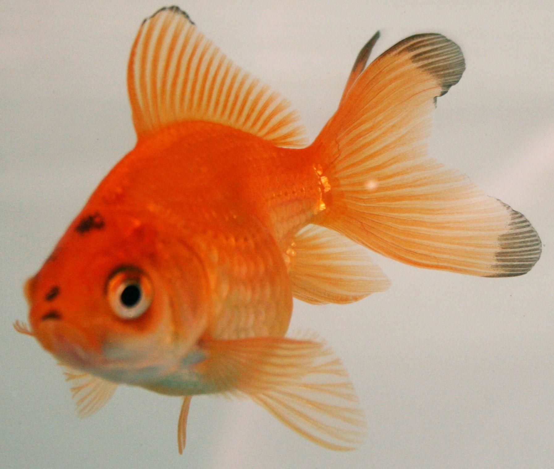 Fantail Goldfish Freshwater Aquarium Fish Goldfish