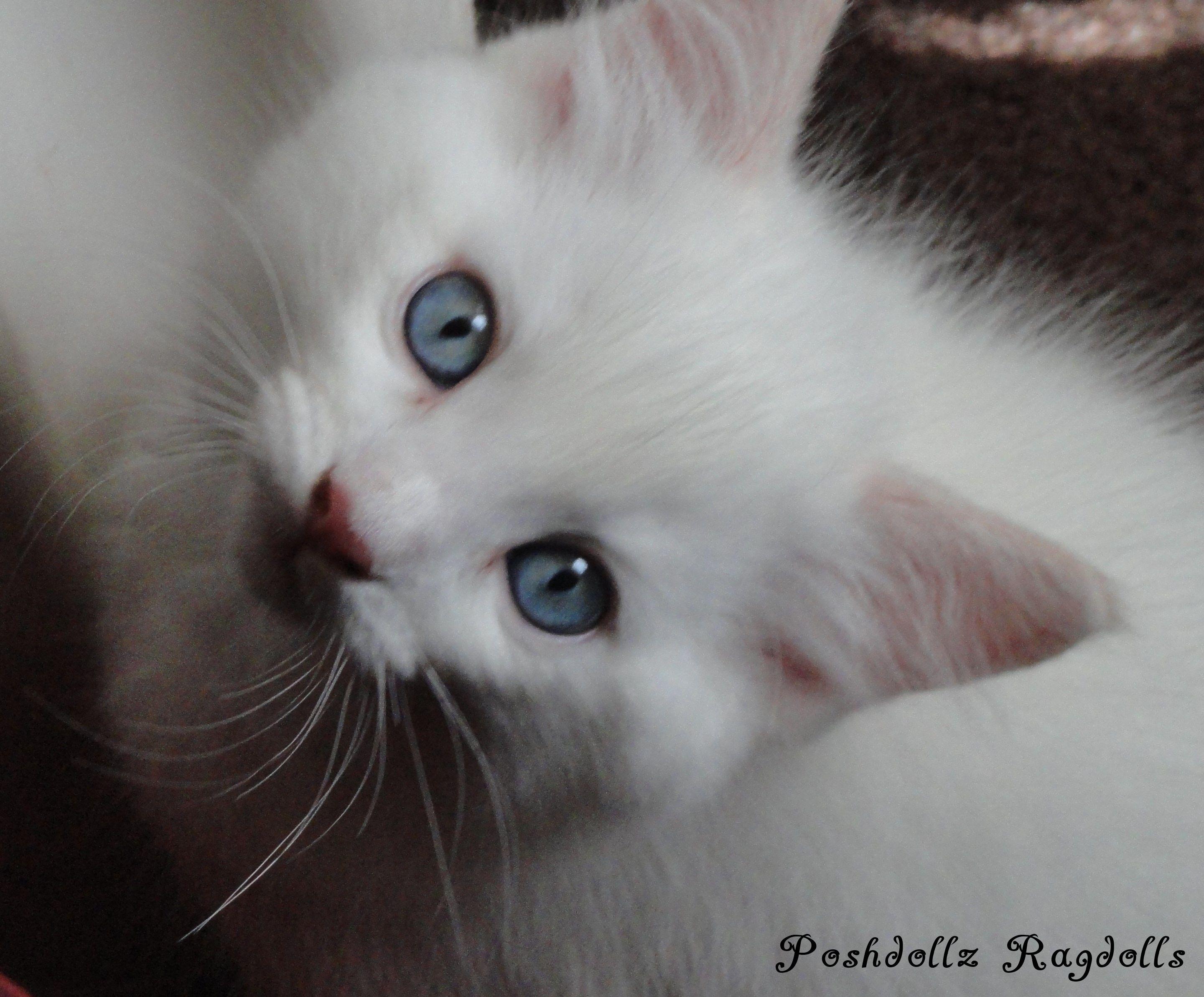 Flame Point Mitted Ragdoll Kitten Cats Ragdoll Cat Ragdoll Kitten