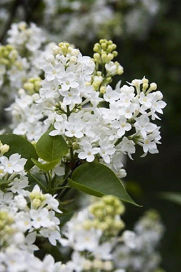 Wreckorated Hooray Hooray The First Of May Syringa Vulgaris Lilac Flowers Lilac Gardening
