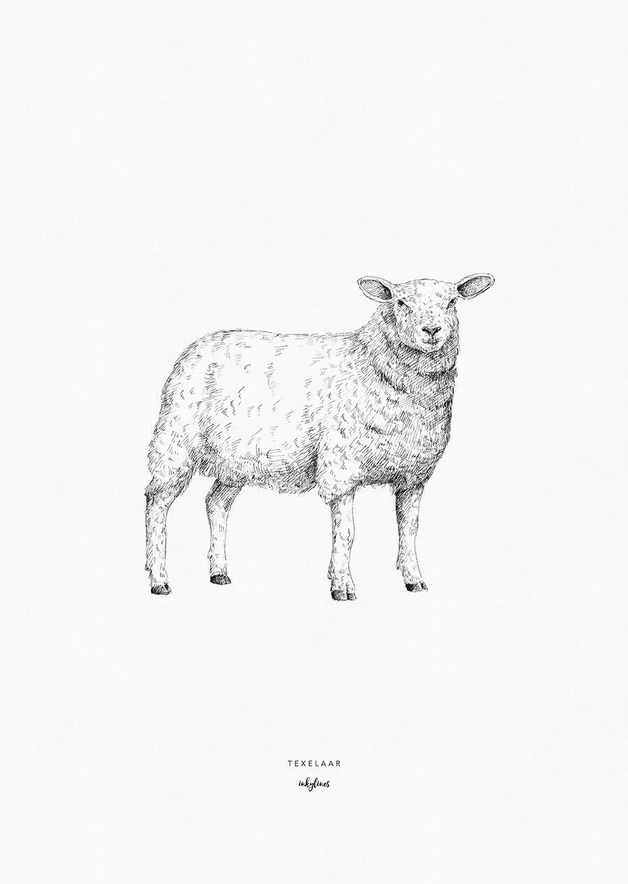 Animals Texelaar Sheep Drawing Sheep Illustration Animal Sketches