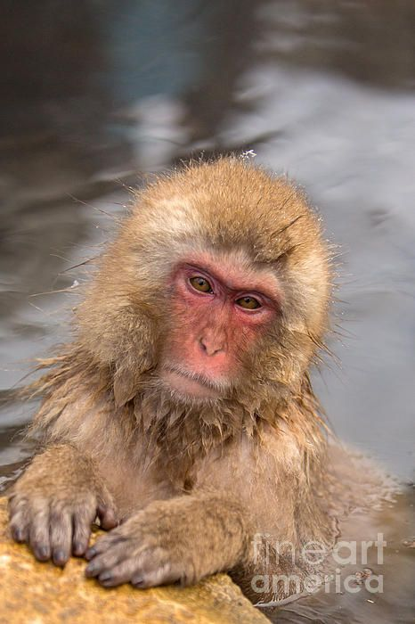 Juvenile Snow Monkey In The Onsen By Natural Focal Point Photography Snow Monkey Monkey Monkey Park