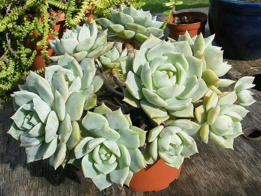 Graptoveria Titubans Porcelain Plant Succulentes Plantes