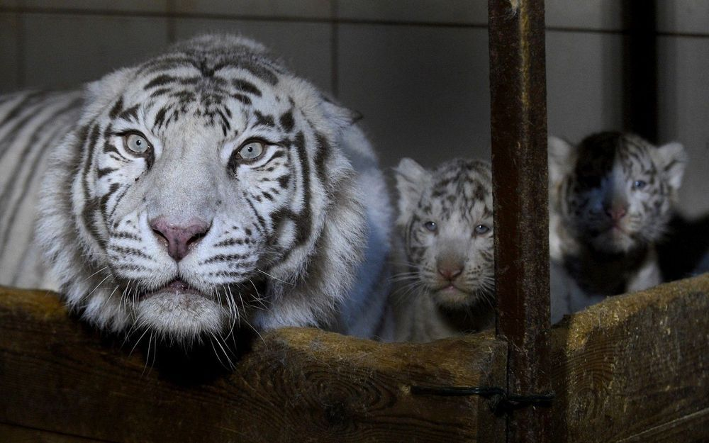 Epingle Par Footdeco Sur Les Tigre En 2020 Tigre Blanc Zoo Bebe Tigre Blanc