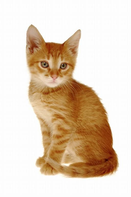Orange Striped Kitten Pictures Google Search Orange Cats Orange Tabby Cats Crazy Cats