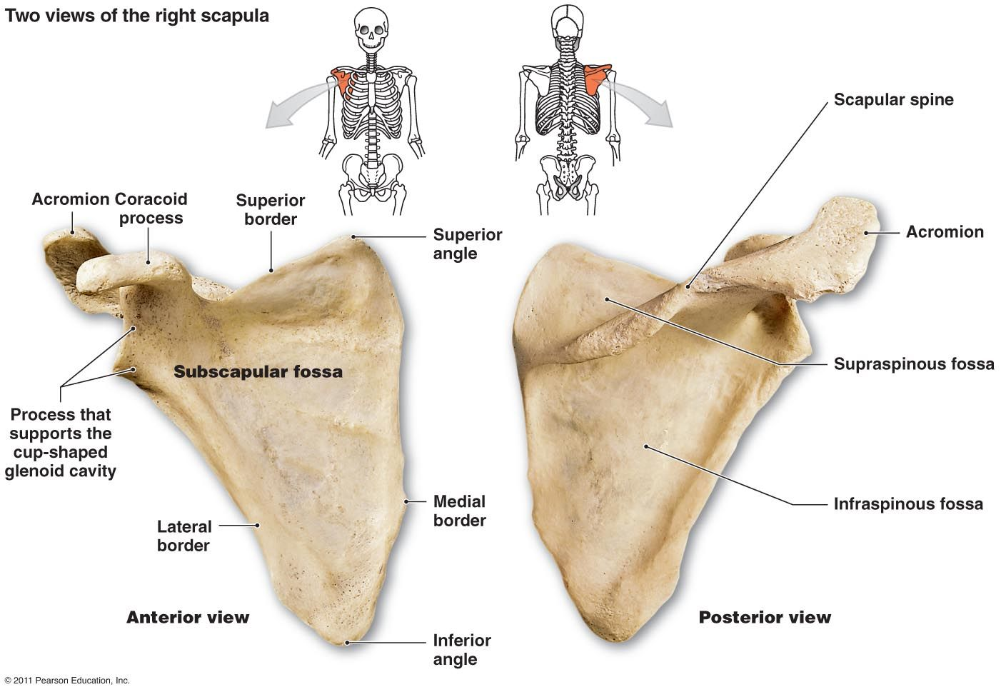 scapula | pectoral girdle (4): clavicle -- scapula the shoulder, Human Body