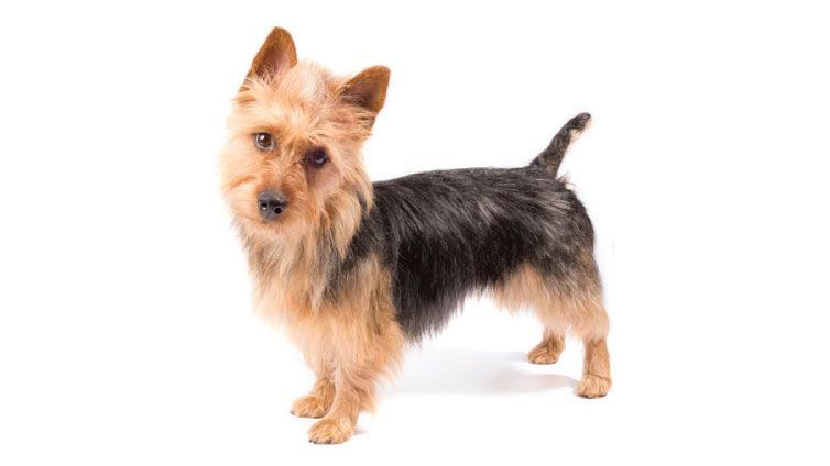 Check Out These Small Dog Breeds That Dont Shed And Find Out Which One Of Them Could Be P In 2020 Small Family Dogs Dog Breeds That Dont Shed Hypoallergenic Dogs Small